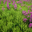 Stock Photo: Purple Wildflower Patch