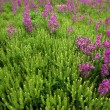 Purple Wildflower Patch — Stock Photo #31718445