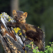 Stock Photo: Marten (Martes Americana) On Mossy Tree Stump