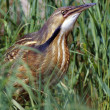 Stock Photo: AmericBittern