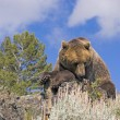 Grizzly Bear — Stock Photo #31718551