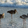Stock Photo: White Ibis In Water