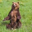 Stock Photo: Grizzly Bear Sitting Up
