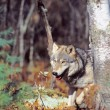 Timber Wolf — Stock Photo #31718685
