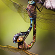 Stock Photo: Mating Dragonflies