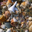 Seashells — Stock Photo #31718811
