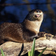 River Otter On Driftwood — Stock Photo #31718851