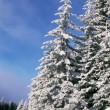 Stock Photo: Snow Covered Pine Trees