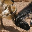 Goats Fighting — Stock Photo