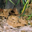 Stock Photo: Prairie Rattlesnake Testing Surroundings