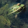 Northern Leopard Frog In Water — Stock Photo