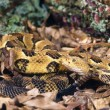 Timber Rattlesnake — Stock Photo #31719267