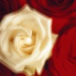 Rose Blossoms (Soft Focus) — Stock Photo