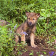 Wolf Cub At Den — Stock Photo #31719495