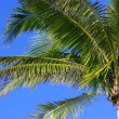 Palm Tree — Stock Photo #31719525