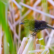 Bird In Reeds — Stock Photo #31719681