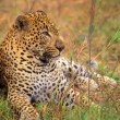 Stock Photo: Leopard Lying In Grass