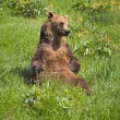 Grizzly Bear Sitting In Grass — Stock Photo #31719877