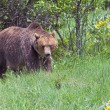 Stock Photo: Grizzly Bear Grazing Grass