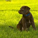 perro perdiguero de labrador chocolate — Foto de Stock