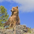 Grizzly Bear Sitting Up — Stock Photo #31719975