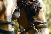 Team Of Horses — Stock Photo