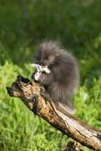 Porcupine Baby Eating Flower — Stock Photo