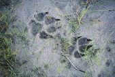 Wolf sporen in de modder — Stockfoto