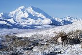 Caribou In Alaska — Stock Photo