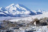 Caribou In Alaska — Stock Photo