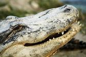 Alligator — Stockfoto
