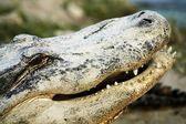短吻鳄 — 图库照片