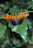 Orange Butterfly On White Birch Leaf — Stock Photo