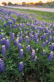 Blue Bonnet Flowers — Stockfoto