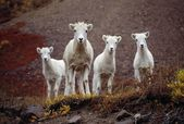 Four Dall Sheep — Photo