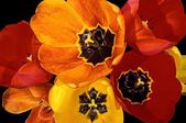 Close-Up Tulips — Stock Photo