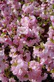 Closeup Of Cherry Blossoms — Stock Photo
