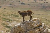 Goat Standing On Rock — Stock Photo