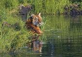 Tiger Lying In Water — Stok fotoğraf