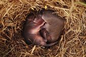 Close-Up Of Baby Field Mice In Nest — Stock Photo