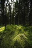 Mossy Forest Landscape — Stock Photo