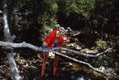 Pair Of Scarlet Macaws On Tree Branch — Stock Photo