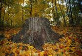 Large Tree Stump In Autumn — Stock Photo