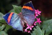 Dead Leaf Butterfly — Stock Photo