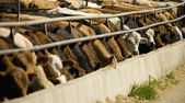 Cattle Feeding From Trough — Stock Photo