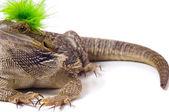 Bearded Dragon Lizard With Mohawk — Stock Photo