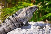 Iguana Sunning Itself On A Rock — Zdjęcie stockowe
