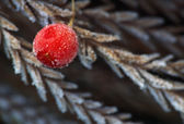 Red Frosted Berry — Photo