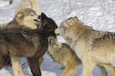 Pack Of Wolves Interacting — Stock Photo