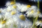 Daisies — Photo